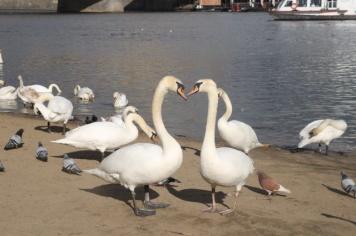 1.1428645662.prague-swans