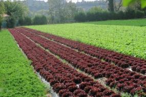 3.1444750096.cabbage-farm