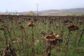 3.1445436411.a-sea-of-dead-sunflowers