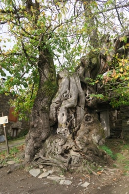 3.1446834446.800-year-old-tree