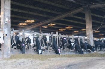 3.1447170530.cows