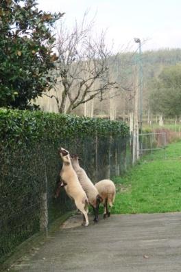 3.1447267613.lamb
