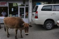 1.1402390422.cow-causing-traffic-havoc